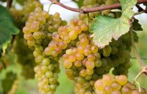 Turbiana, is it a Trebbiano or not?