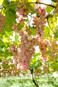 Koshu Grapes